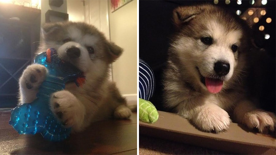 malamute-luca-dog-toy-forever-karissa-lerch-6