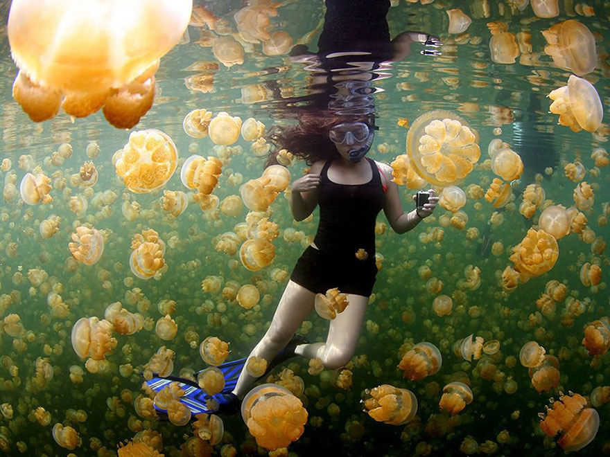 Yellow Jellies, Rock Islands Of Palau
