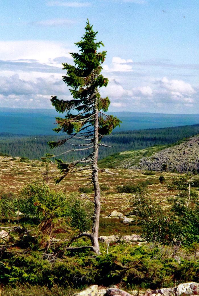 cel mai vechi copac din lume