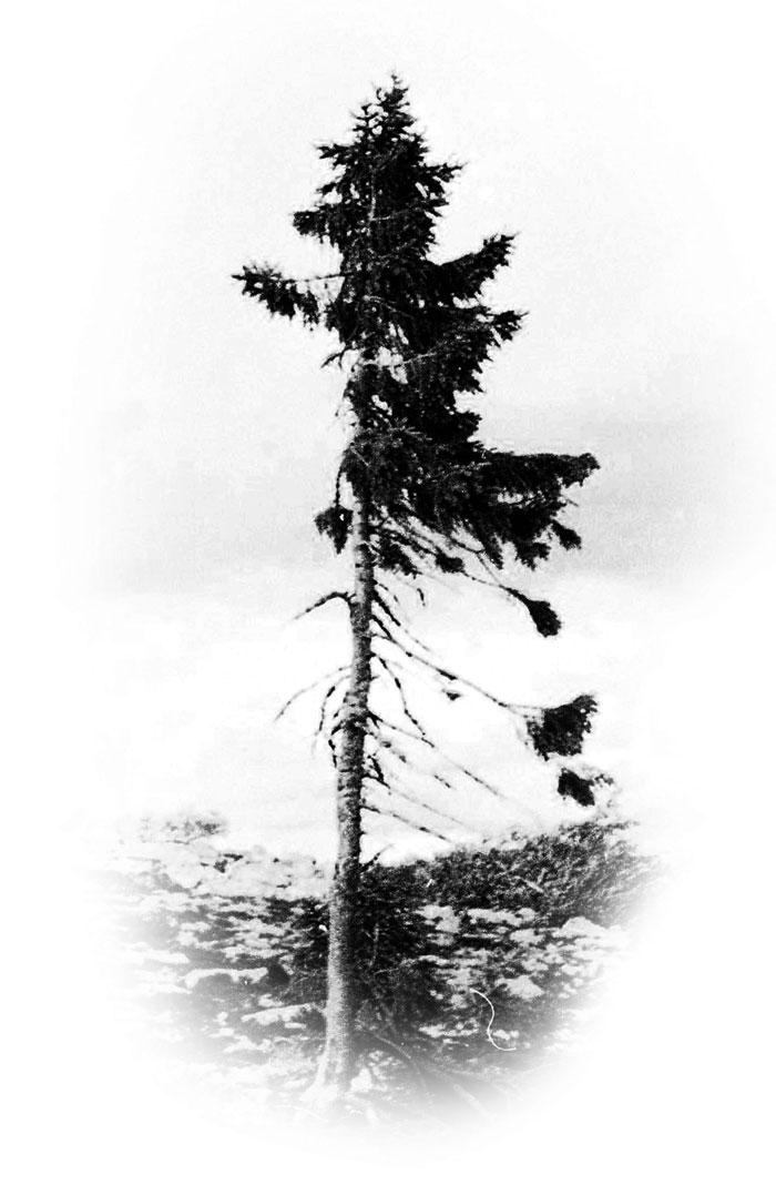 cel mai vechi copac din lume 2