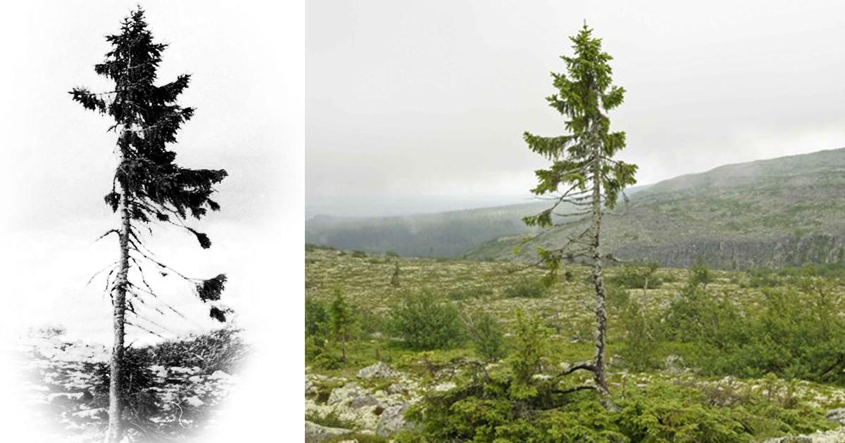 Αποτέλεσμα εικόνας για ancient pine tree png images
