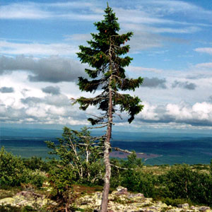 9,500-Year-Old Tree Found in Sweden Is The World's Oldest Tree