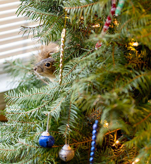 rescued-squirrel-christmas-tree-5