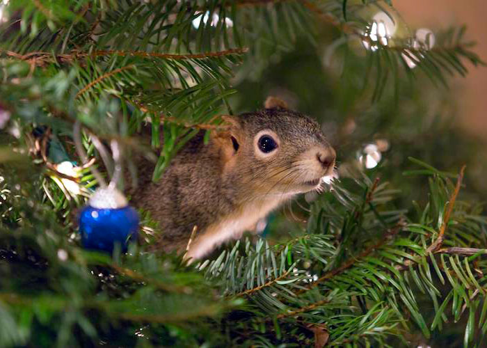 Couple Saves A Squirrel And Now It Lives In Their Christmas Tree