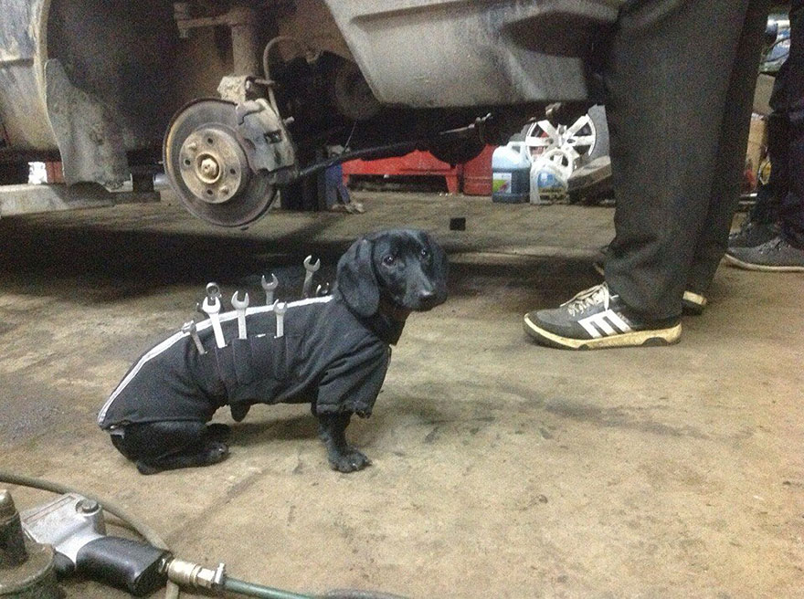 Tool Dog Helping Humans Fix Cars Is The Cutest Little