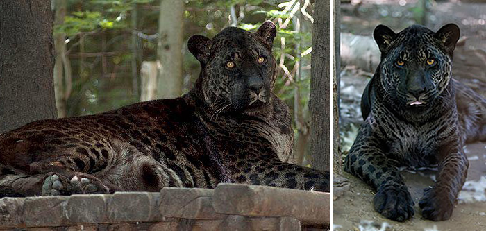 jaguar zviera with Strange Hybrid Animals That Are Hard To Believe Actually Exist on Real Forest Animals also Happyandcuteanimals blogspot further Los Dinosaurios Y Su Calentamiento Global likewise View Noir et blanc 2 Other also Leop Snezny.