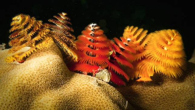 xmas-tree-worms
