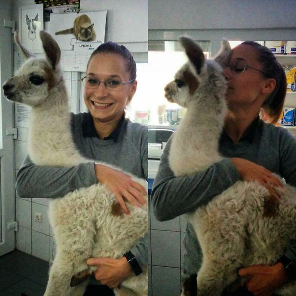 Vet Life; Four-days Llama