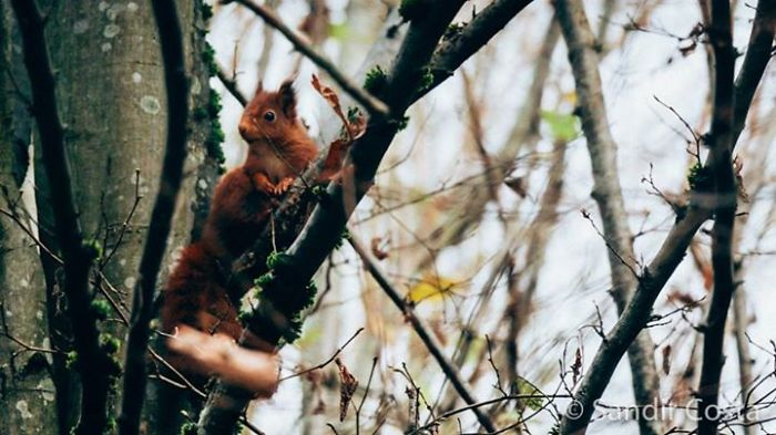 Red Squirrel In Versailles