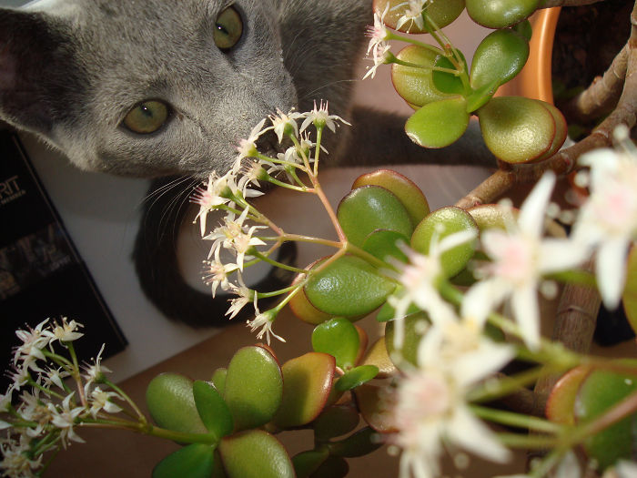 Mister Bear Our Russian Blue Cat Always Loved The Scents Of Flowers, Even Little Flowers…..