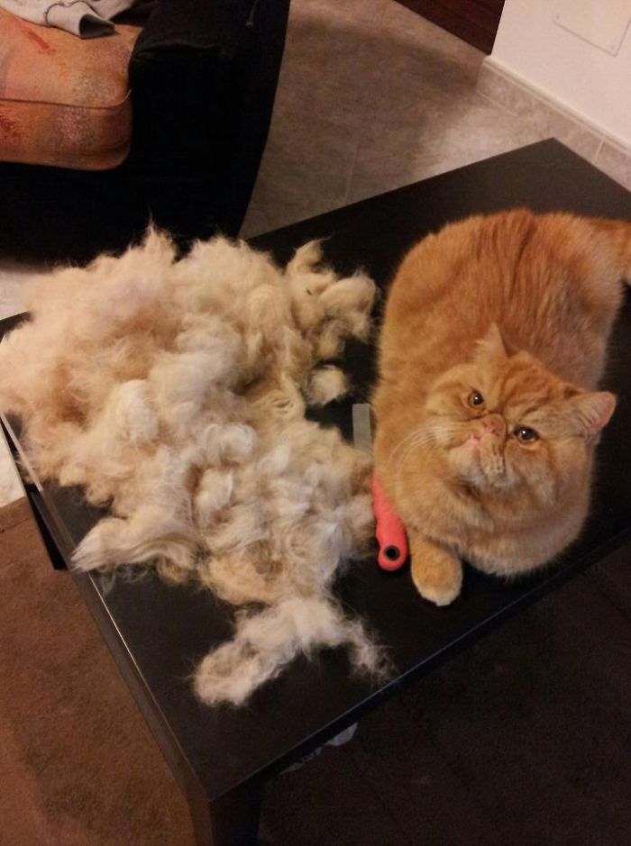 My Cat Holly After Grooming. I Could Make A Sweater!