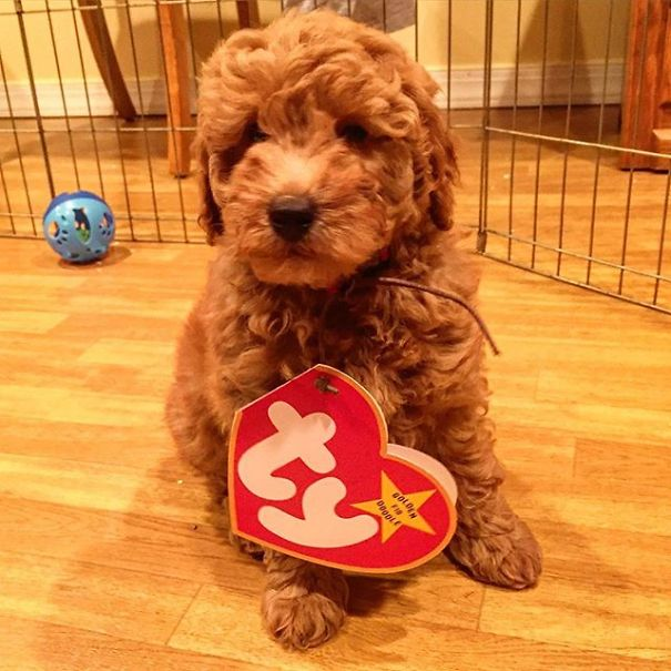 Beanie Baby Goldendoodle