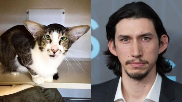 How About This Cat That Looks Like Adam Driver?