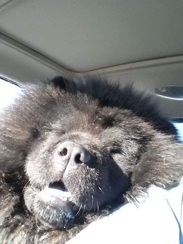 Poe The Black Chow Chow Bear