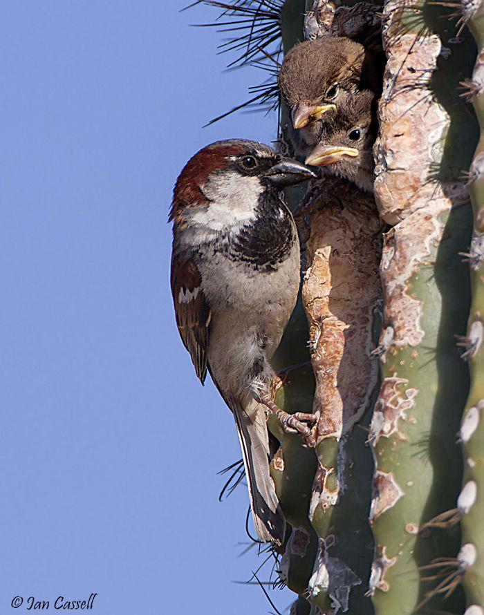 El gorrión de casa - Gilbert, Arizona
