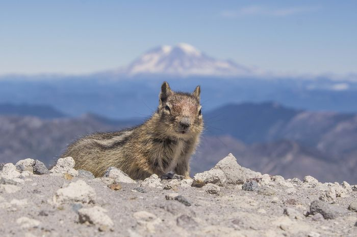 Squirrel On The Rim Of Mt St Helens