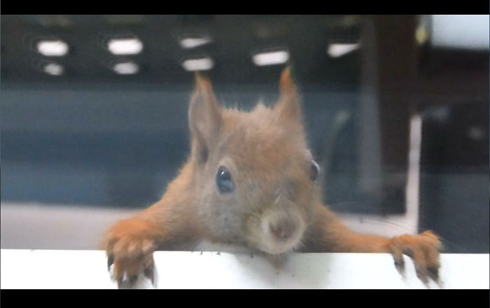 German Squirrel Named 'hörny' Checking Windowsill For Nuts