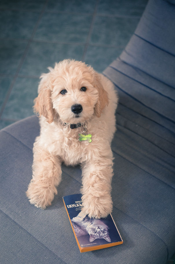 Pinocchio The Golden Doodle (ig @pinocchiothedood)