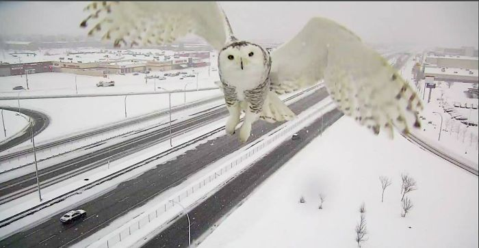 A Magnificent Snowy Owl Caught By A Traffic Camera