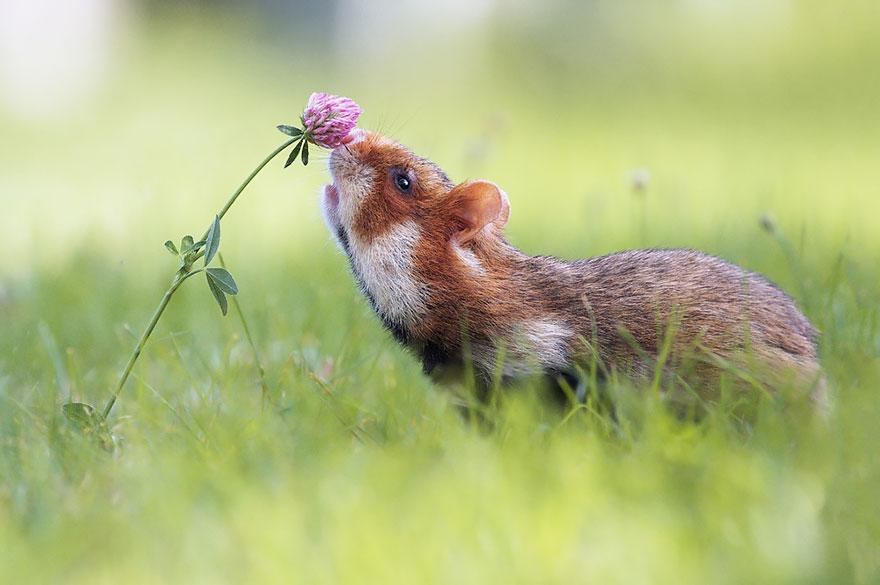 Hamster Flores de cheiro