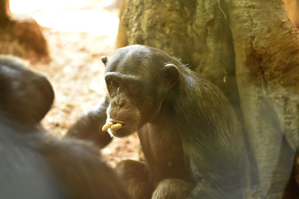Chimp Playing With Peanuts