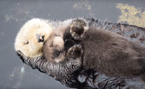 Day Old Otter Pup Falls Asleep On Its Floating Mother's Belly