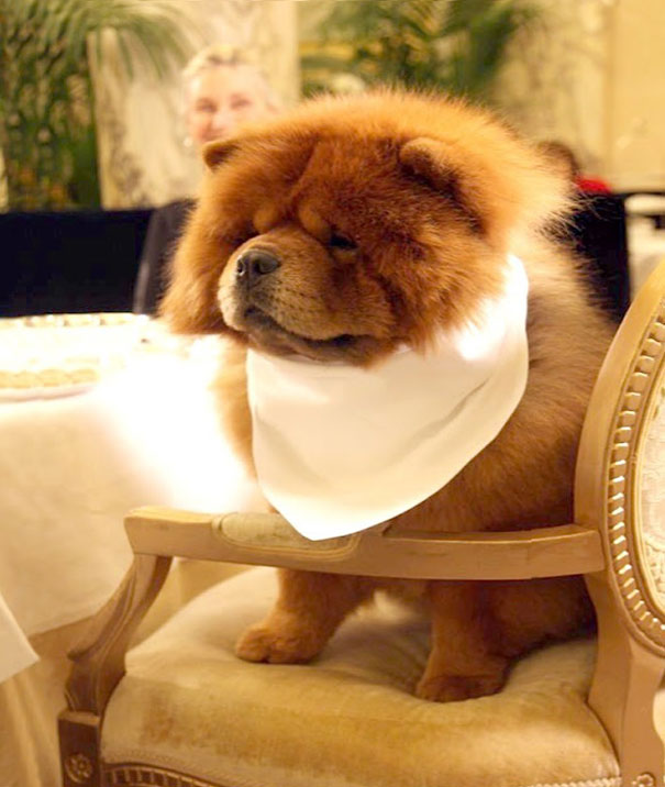 Quite The Well-Bred Chow Chow