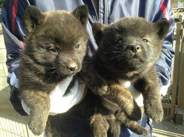 Kai Puppies