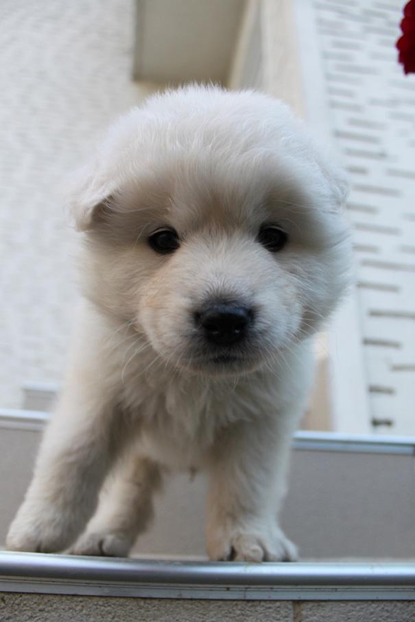 Samoyed And Golden Retriever Mix Puppy