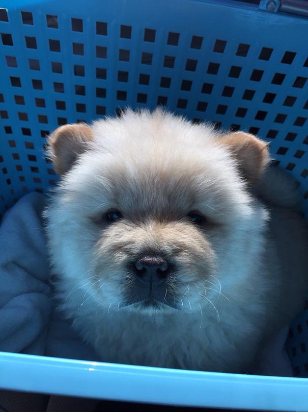 Meet My Teddy Bear Dog, Mufasa