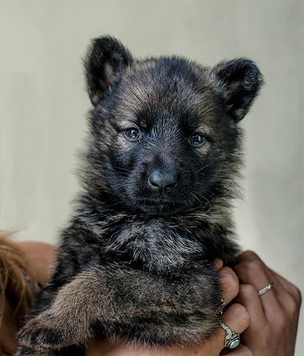 My German Shepherd Puppy Kinda Looks Like A Bear Cub