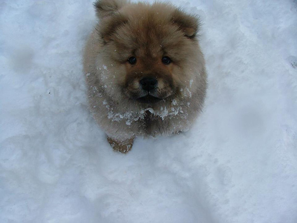 Trying To Say No To My Chow Puppy For Eating Snow