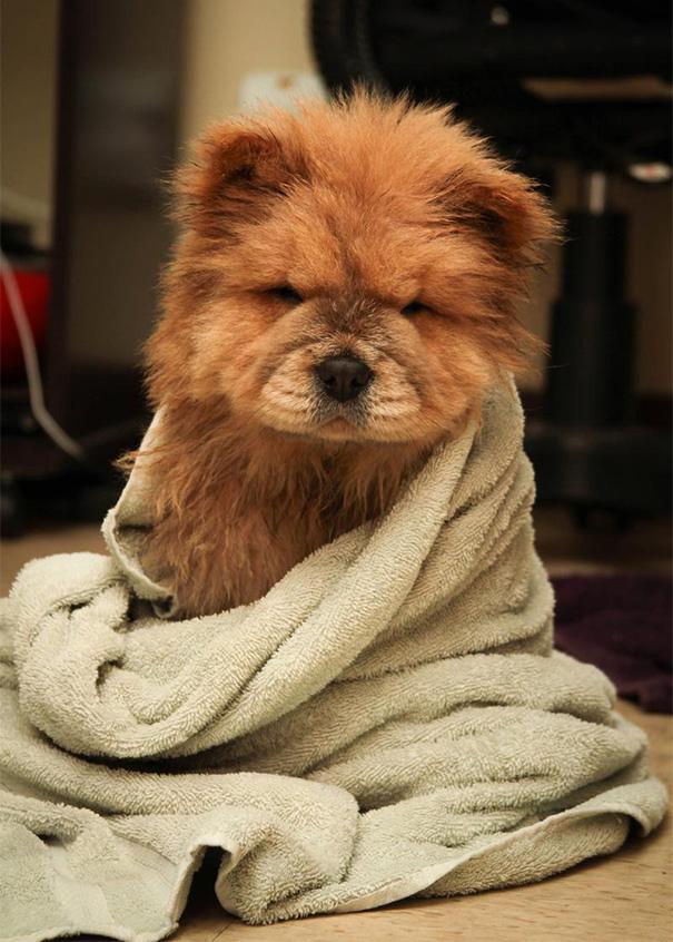 Meet Chowder, The Chow Chow Puppy