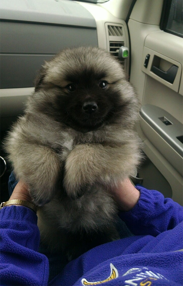 My Parents New Puppy. Keeshond Mixed With An American Eskimo