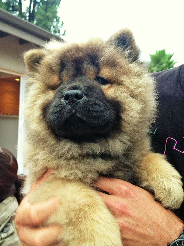 My Friend's 3 Month Old Chow Chow Puppy