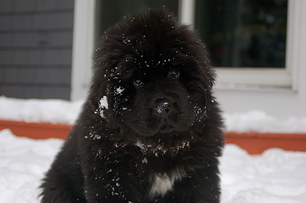 My Newfie Puppy's First Time In The Snow
