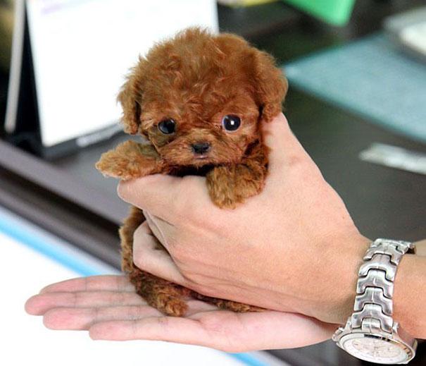 Teacup Toy Poodle