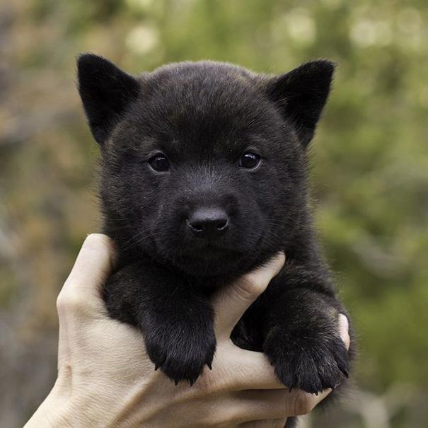30 Days Old Kai Ken Puppy