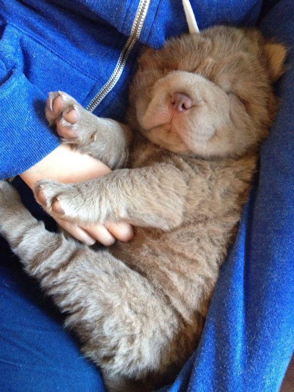 Sleepy Bear Coat Shar-Pei
