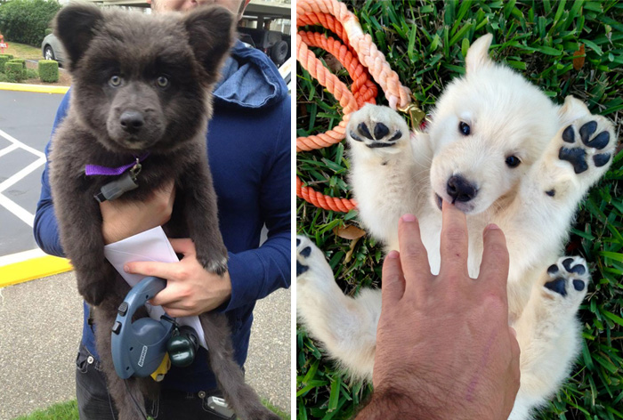 15+ Dogs That Look Like Teddy Bears