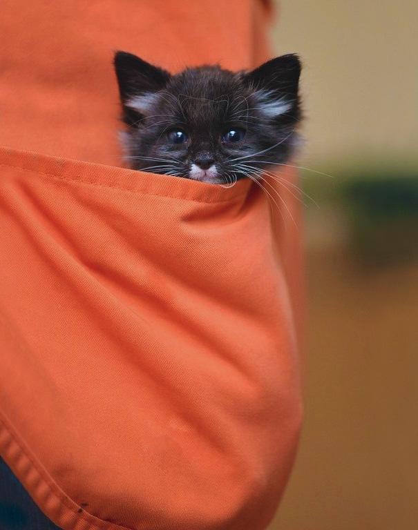Pocket Kitten Ashton