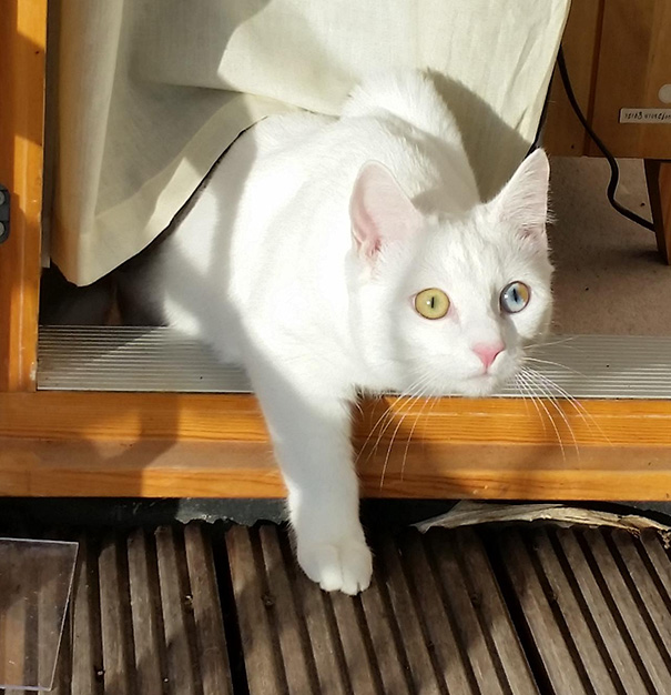 cat-eyes-different-colors-heterochromia-3