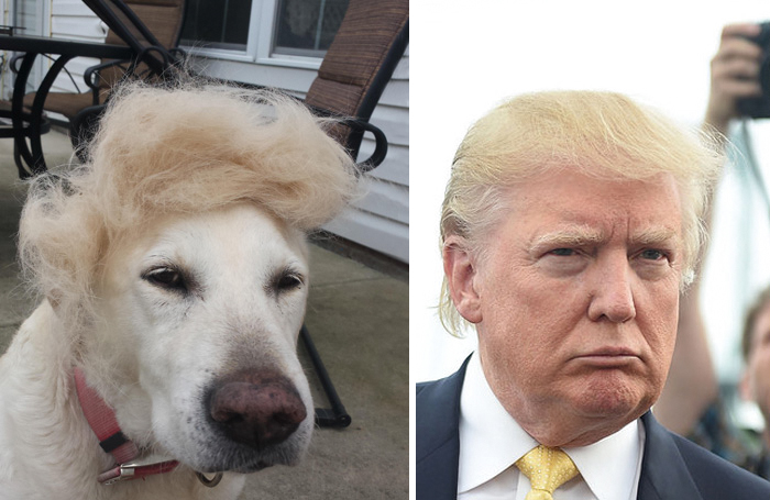 This Dog Looks Like Donald Trump