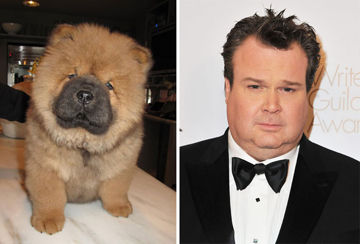This Chow Chow Puppy Lokks Like Eric Stonestreet