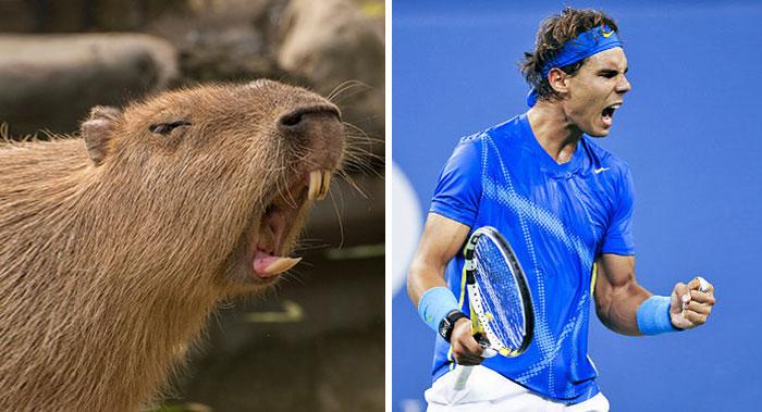 Capybara Looks Like Rafael Nadal