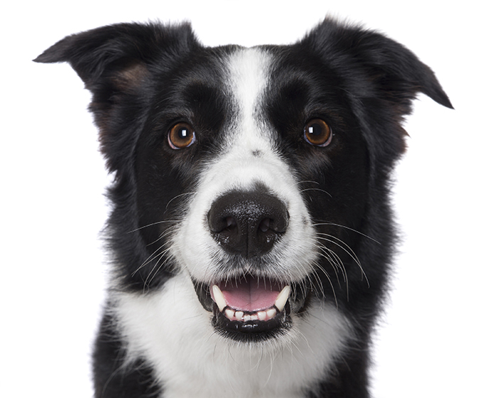 smiling dog white background - photo #45