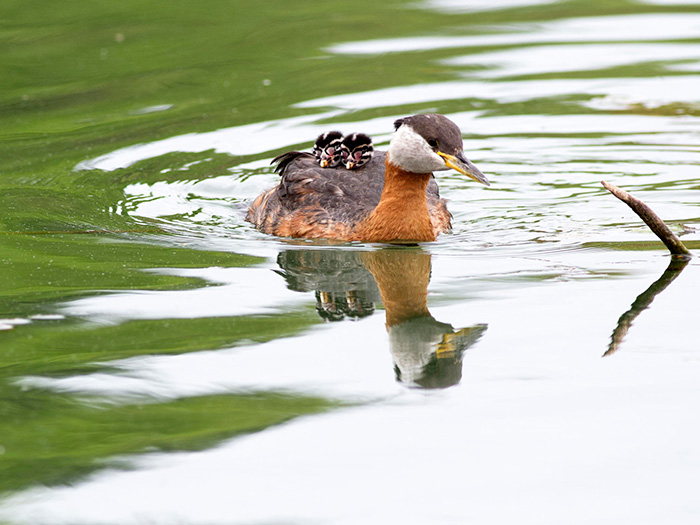 Red Necked Grebe With Two Chicks