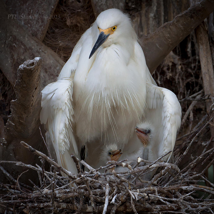 A Snowy Heron Mother Keeps Watch Over Her Chicks