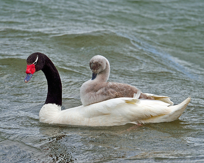 An Adult Black-Necked Swan Gives One Of Its Young Signets A Ride On Its Back