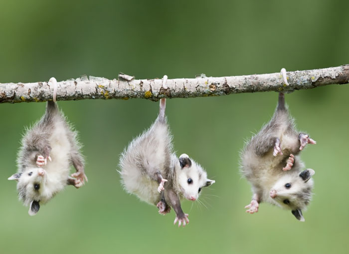 Baby Opossums Hanging From Branch